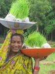 Women carry loads of seedlings from nursery to the main field