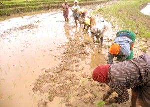 Paddy transplanting is exclusively done by women