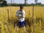 Women counting grains in Yield estamation-GCpalli