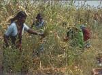 Growing millet crops on leased lands