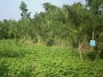 Indian gooseberry trees bordering cotton crop