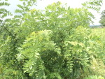 Trees on farms for yielding additional biomass