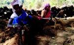 Women harvesting Pipla roots