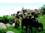 Goats provide livelihoods to millions of small farmers