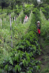 Intercropping coffee with tomatoes
