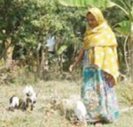 Morjina Begum a successful goat rearer