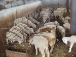 Stall feeding for effective feed management