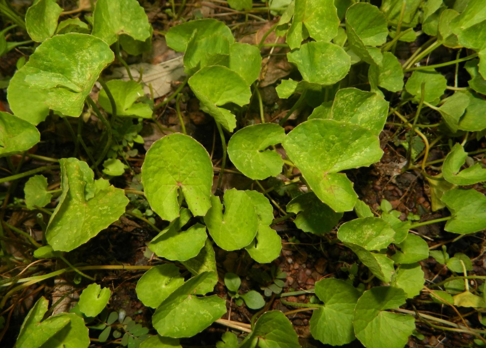 Centella-asiatica