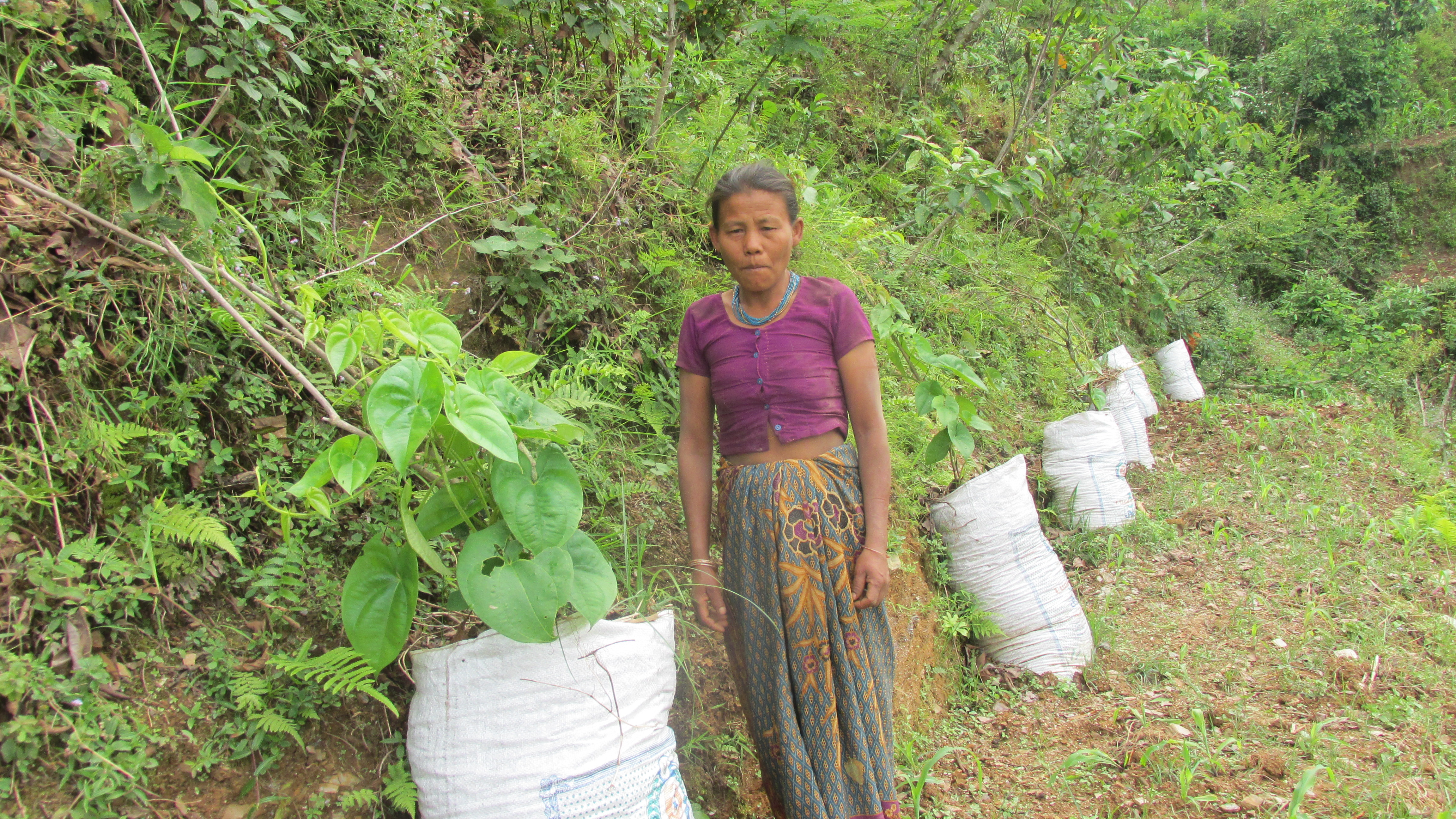 Demonstration of yam cultivation in sacks at Laitak village