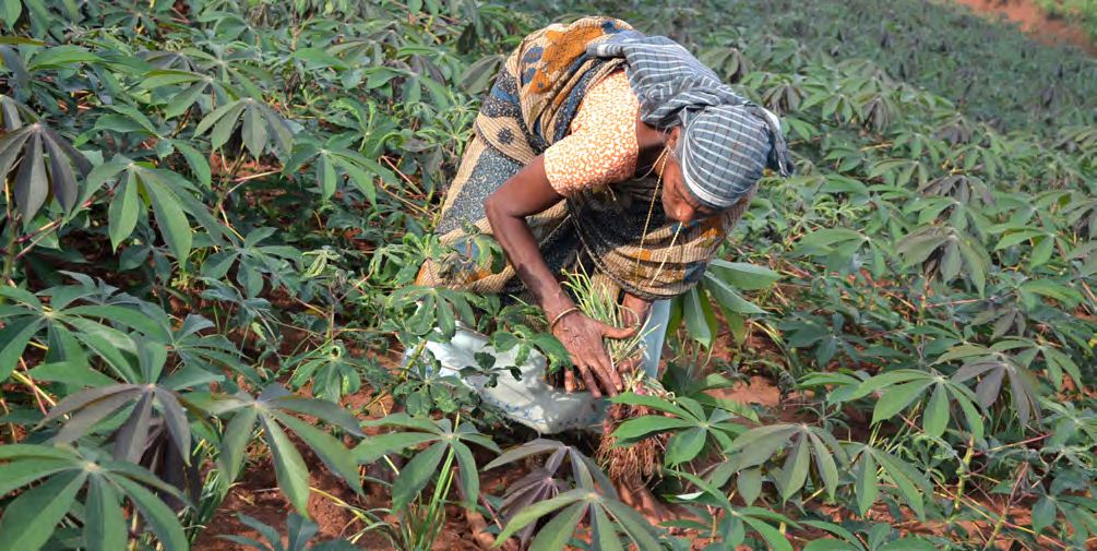 Intercropping cassava with onions resulted in a 60% increase in family income