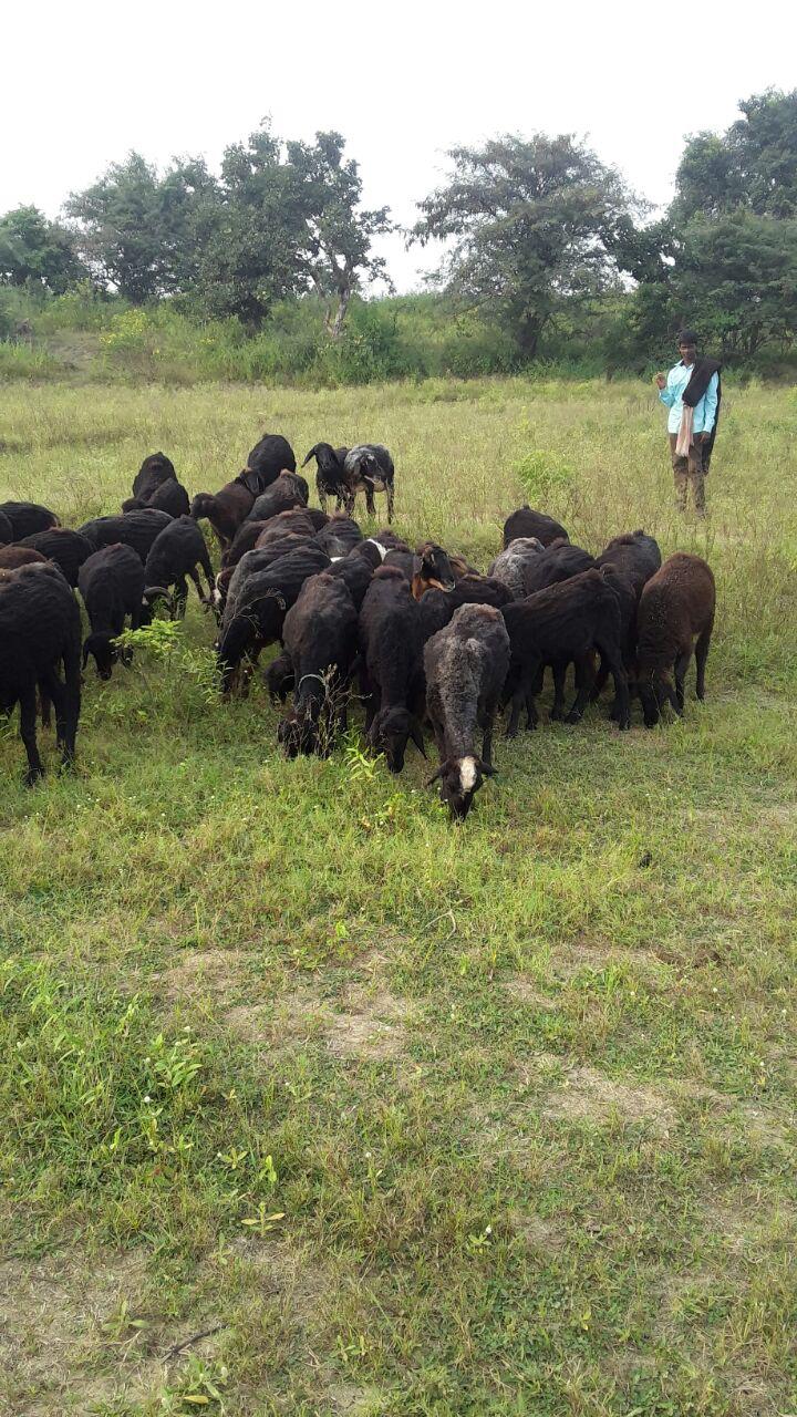 Deccani sheep breed is critical for livelihoods in Telangana