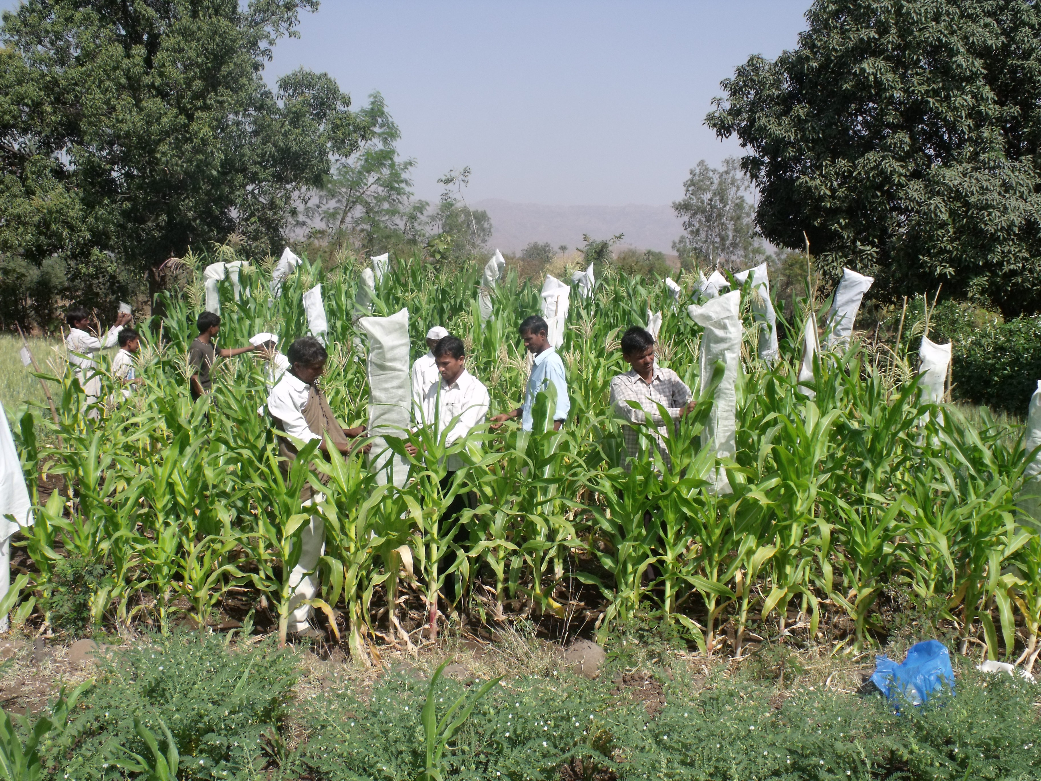 Participatory revival, conservation and replication of traditional landraces