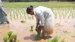 Narayanamma switches to line sowing in paddy