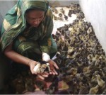 Alecha earns additional income through chicken rearing