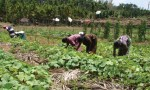 Members collectively cultivating vegetables