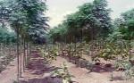 Farm forestry - teak with melia