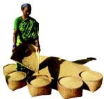 Harvest of local variety of paddy