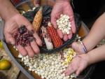 Farming based on agro ecology sustains crop biodiversity