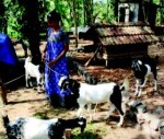 Malabari goats, a means of building assets