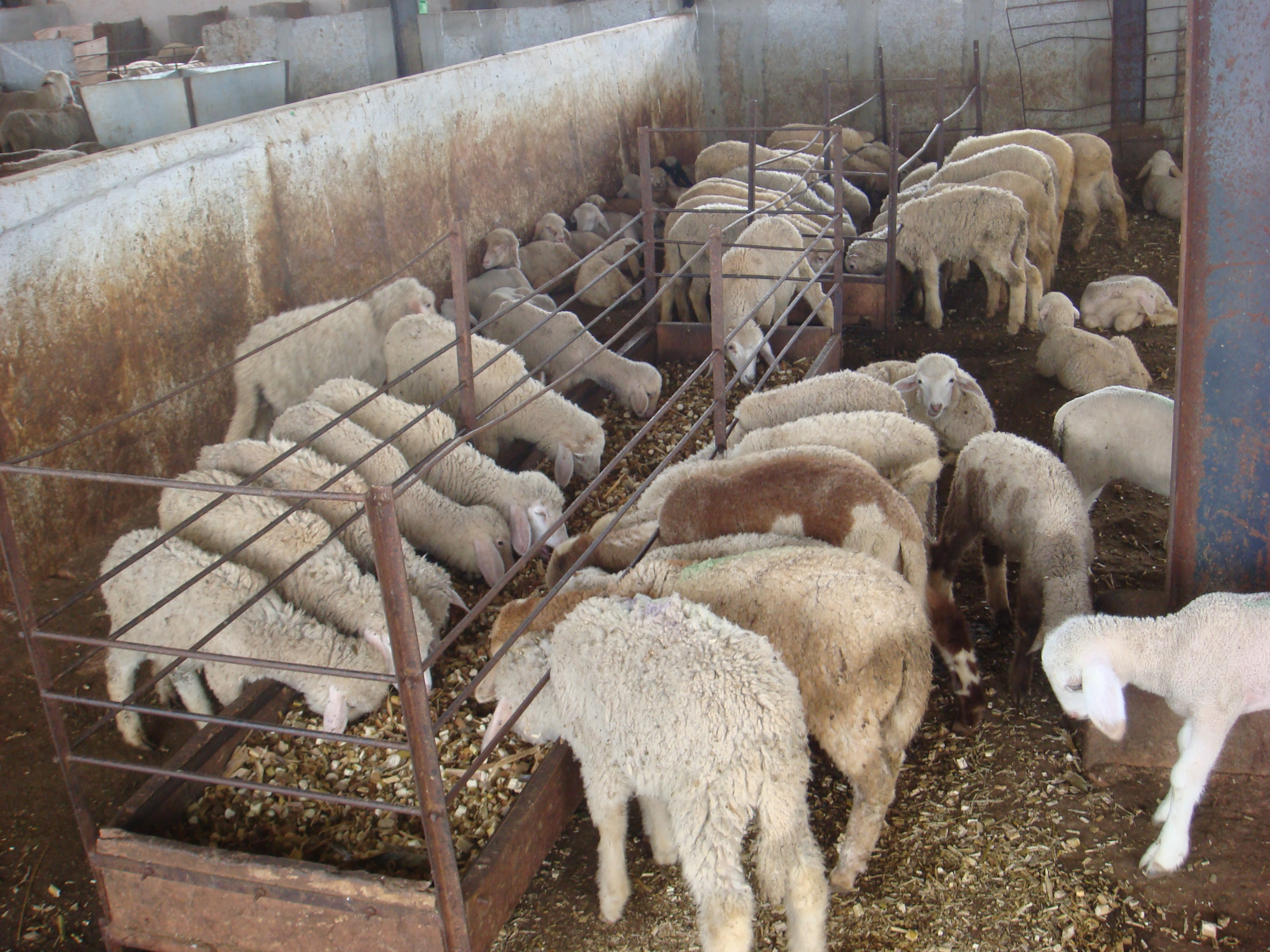 Productivity In Congress >> Farmers Diary: Leading a flock of sheep - LEISA INDIA