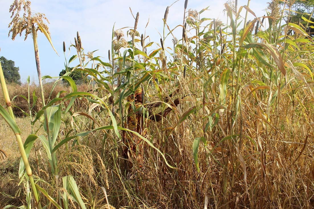 A woman harvesting diverse millets