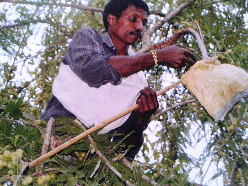 Forest foods form a significant part of the tribal household diet