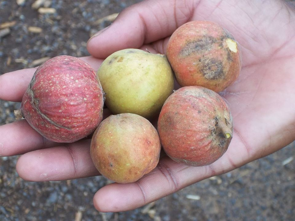 Fruits collected from the forest