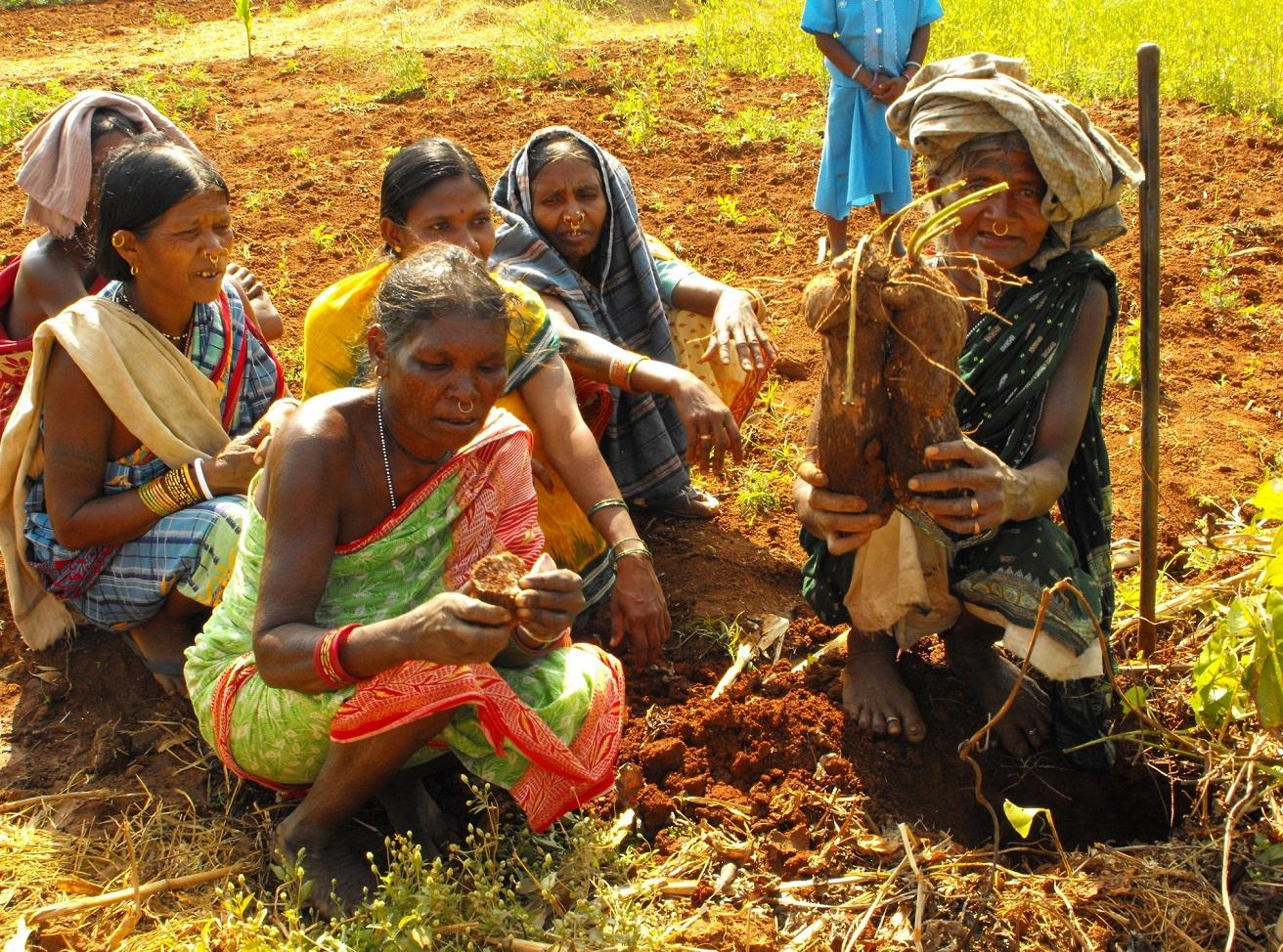 Sukri Majhi showing Cassava tuber