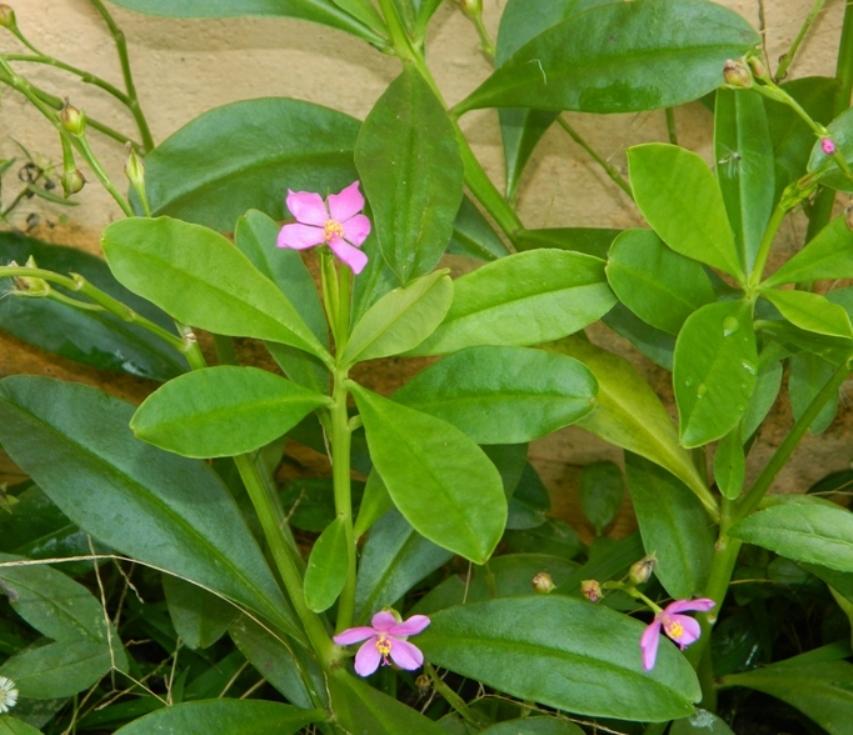 Talinum cuneifolium