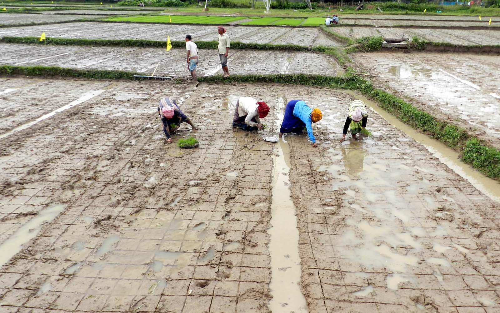 Farmers use markers to follow spacing in sri paddy field