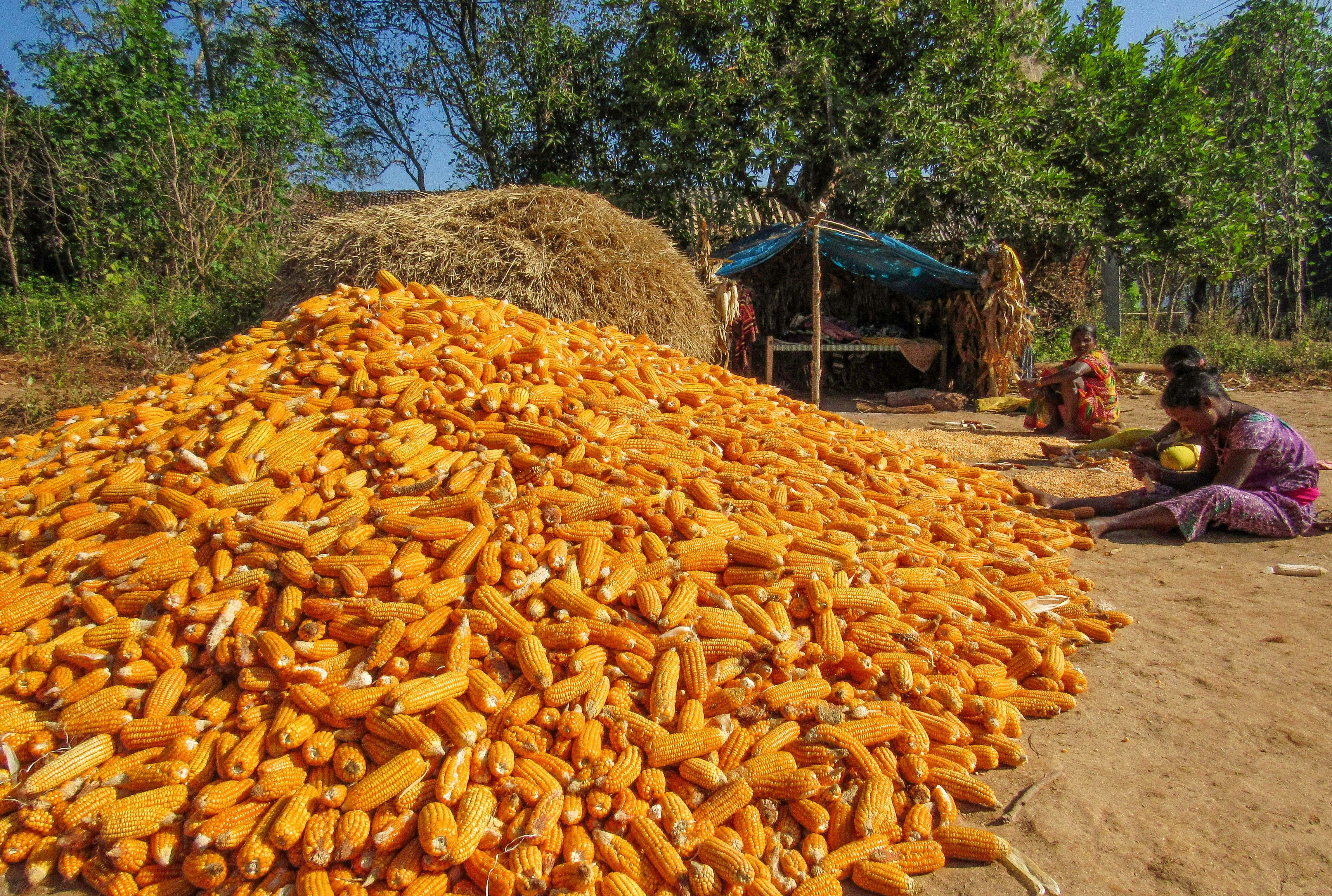 A bountiful harvest of corn in Kalahandi