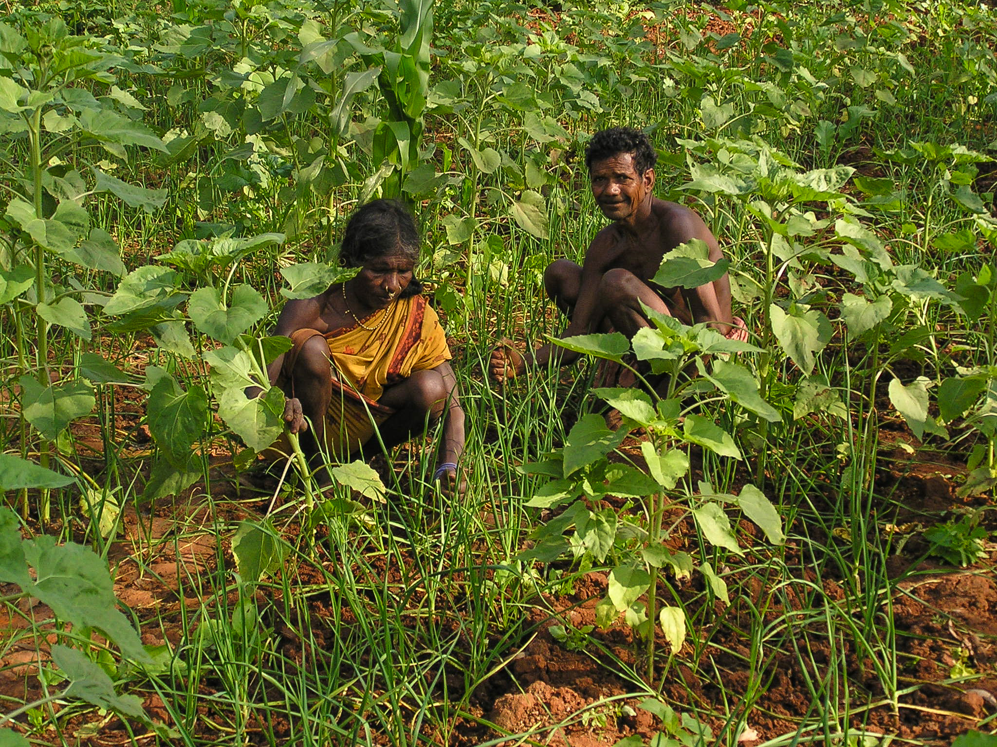 Farmers are back to mixed farming in Kashipur