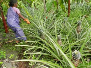 Modified husk burial method resulted in uniform bearing in pineapple