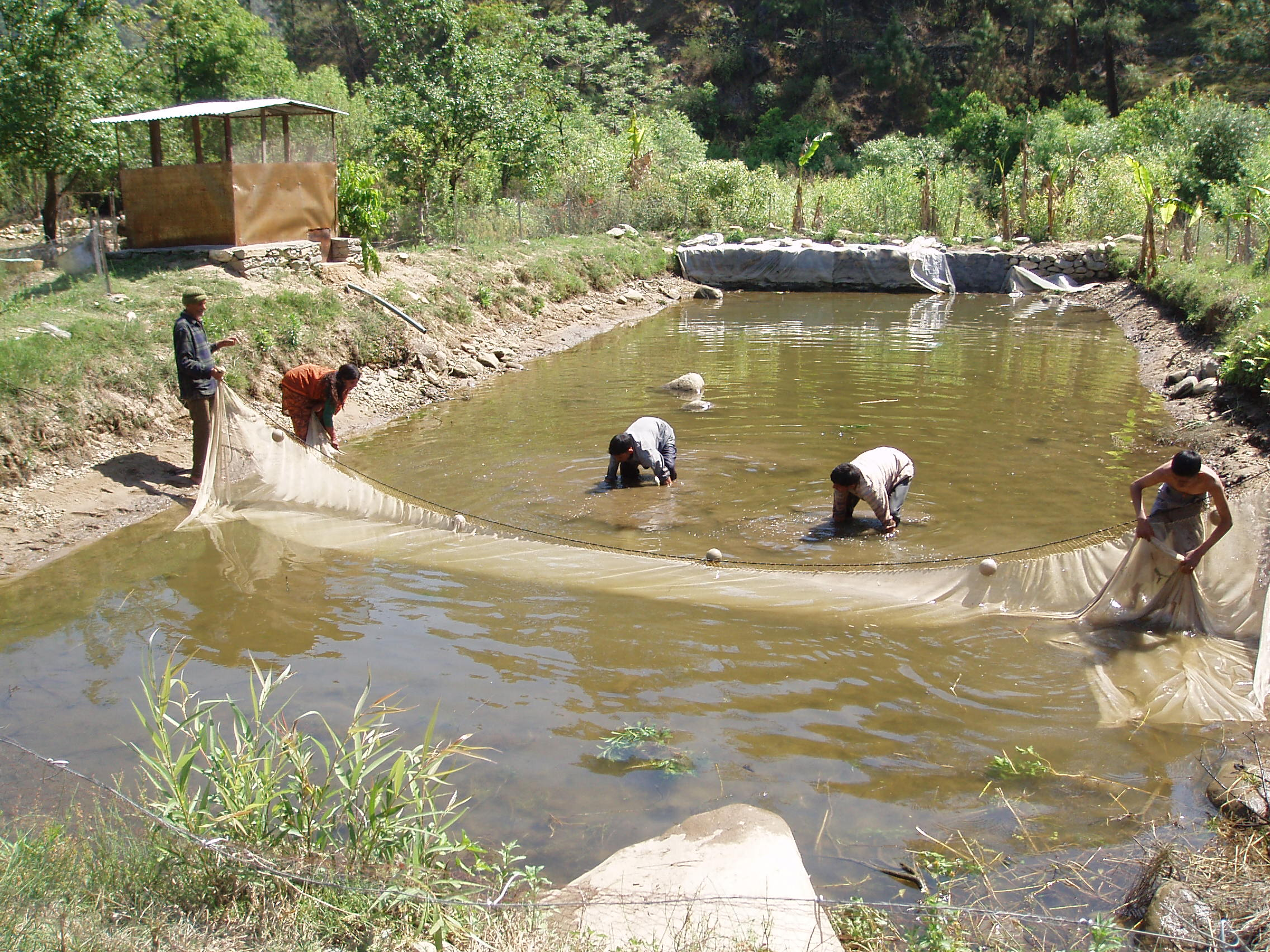 Integrated Fish Farming - A tri-commodity approach - LEISA INDIA